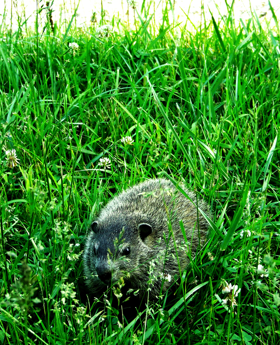 photoblog image great piece of turf with groundhog
